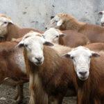 Identifican genes relacionados con la calidad de la carne ovina