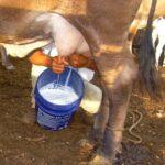 Lactoinducción permite recuperar animales con problemas de Fertilidad