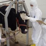 La combinación de medicamentos es eficaz contra la leucemia bovina