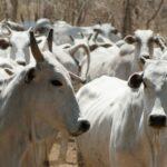 Hallados genes potencialmente vinculados con la resistencia del ganado a las variaciones ambientales