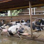 Un proyecto para mejorar el bienestar de vacas lecheras y cerdos