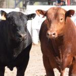 Controlar la sanidad en toros evita pérdidas de hasta un 30%