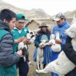 Senasa evaluará ganado ovino para descartar enfermedad hidatídica en Huancavelica