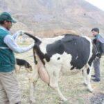 Arequipa: MINAGRI ejecuta monitoreo para descartar la Brucelosis en ganado arequipeño