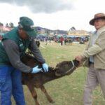 Cusco: Más de 5 mil ganaderos se beneficiaron con campaña de vacunación contra Carbunco Sintomático