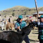 Senasa evaluará ganado bovino para descartar presencia de Lengua Azul en Puno