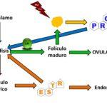 Regulación hormonal del ciclo estral