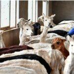 China empieza a exportar prendas de vestir de fibra de alpaca, alerta SNI