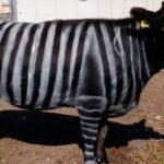 Científicos pintan vacas como cebras para disminuir hasta 50% picaduras de moscas