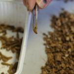 Los insectos, alternativas de proteínas para los piensos animales