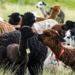 MINAGRI Incrementa Población de Alpacas Reproducidas con Inseminación Artificial en Puno