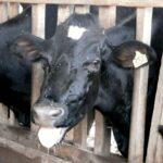 Anaplasmosis mata 50 de 100 animales infectados