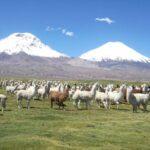 Programa Sanitario SAG de Camélidos Sudamericanos Región de Arica y Parinacota