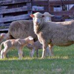 Nacieron los primeros corderos de embriones producidos *in vitro*