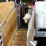 En Nueva Zelanda crían las primeras ovejas con bajas emisiones de metano