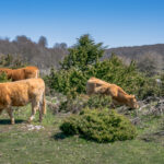 Estudio puede contribuir a aumentar el éxito en la gestación bovina