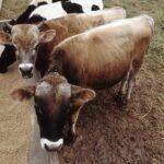 Un estudio puede contribuir a aumentar el índice de éxito en la gestación bovina