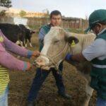 Estrategias sanitarias previenen aparición de Carbunco sintomático en Moquegua