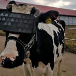 Prueban la realidad virtual para reducir la ansiedad de las vacas