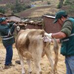Evalúan animales para descartar enfermedad que afecta a bovinos en Cusco