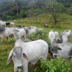 Nueva vacuna detendrá la propagación de la tuberculosis bovina