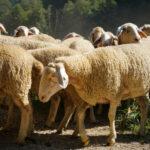 Exploran alternativas al uso de tratamientos hormonales en el ganado ovino