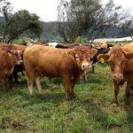 Cómo predecir en menos de cinco minutos la calidad nutricional de la carne bovina