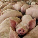 Analizan la presencia del virus de la hepatitis E en el cerdo español
