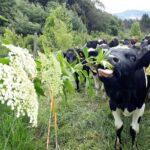 Sistemas Agroforestales: cuando la Producción Ganadera se hace Sostenible