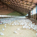 China registra un brote de gripe aviar cercano al foco del coronavirus