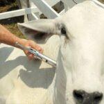 Colombia, de nuevo libre de aftosa con vacunación