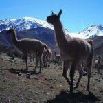 El conflicto entre los ganaderos y la vida silvestre se intensifica a medida que el cambio climático empeora en Chile