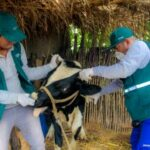 MINAGRI a través del SENASA inicia campaña de vacunación contra el ántrax