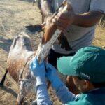 Huancavelica: Estrategias sanitarias de prevención resguardan ganado caprino