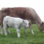 Desarrollan un nuevo método de vacunación contra la anaplasmosis bovina