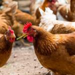 Lo que las gallinas nos enseñan sobre el coronavirus y su control