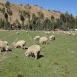 Taller: Manejo Reproductivo en la Crianza de Ovinos en Huánuco