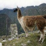 Científicos Belgas Descubren un Anticuerpo en Llamas que Podría Neutralizar el COVID-19