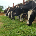 Guisante en lugar de soja en la alimentación animal