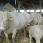 Cómo mejorar la reproducción bovina 'in vitro'