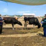 Acciones priorizadas resguardan ganadería familiar en Junín