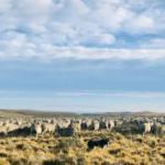La llave para una producción ovina patagónica sustentable; Pastoreos respetuosos y eficientes