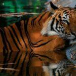 Registran 5 tigres y 3 leones infectados con coronavirus en Zoológico de Nueva York