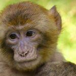 Los macacos generan inmunidad contra la COVID-19