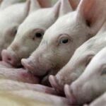 La Libertad: Acciones priorizadas del MINAGRI protegen la porcicultura