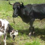 Piura: Atención a ganadería familiar se mantiene vigente