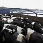 Chile exportará cinco mil bovinos a China en plena pandemia por el COVID19