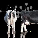 ¿Cómo se mide la Condición Corporal en bovinos?