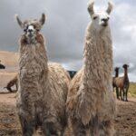 MINAGRI Descifra Diversidad Genética y Estructura Poblacional de Llamas CH'AKU y Q'ARA
