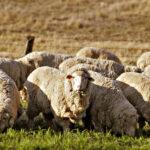 Miden la Huella de Carbono en la Producción Ovina